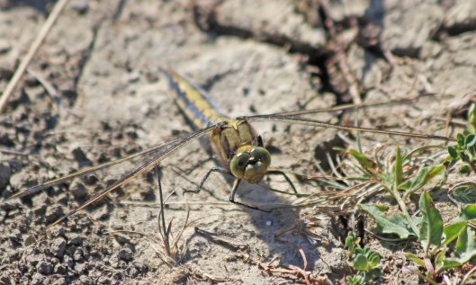 200601 black-tailed skimmer (3)