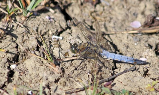 200601 black-tailed skimmer (4)