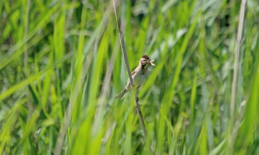 200602 reed bunting