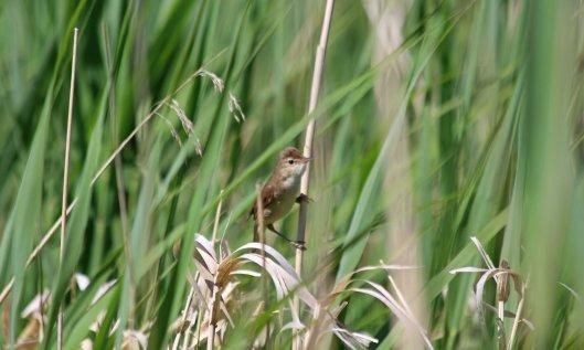 200602 reed warbler