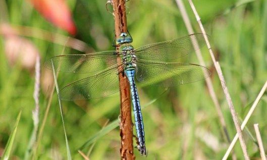 200604 emperor dragonfly