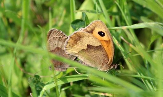 200606 meadow brown (2)