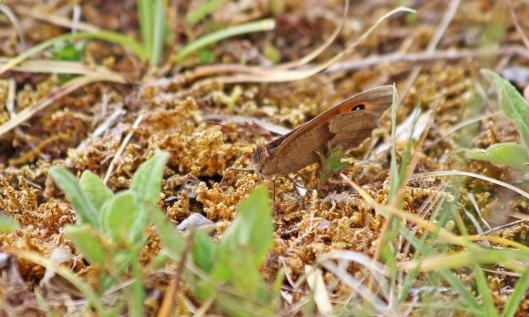 200606 meadow brown (3)