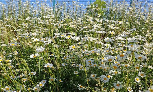 200607 ox-eye daisies (1)