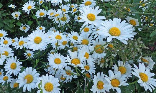 200607 ox-eye daisies (2)