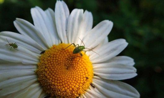 200607 ox-eye daisies (3)