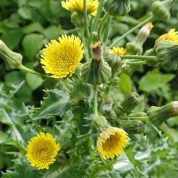 200614 4 prickly sow-thistle