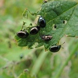 200615 celery leaf beetles (2)