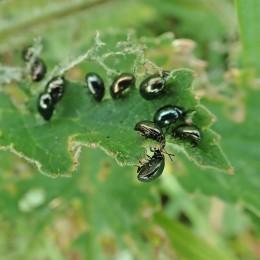 200615 celery leaf beetles (3)