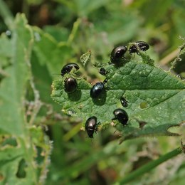 200615 celery leaf beetles (5)