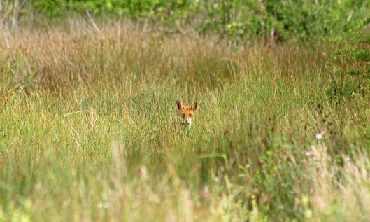 200617 fox