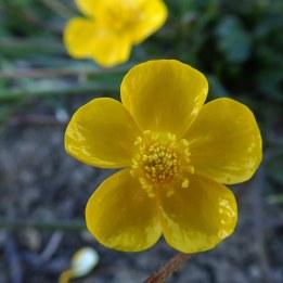 200619 bulbous buttercup (2)