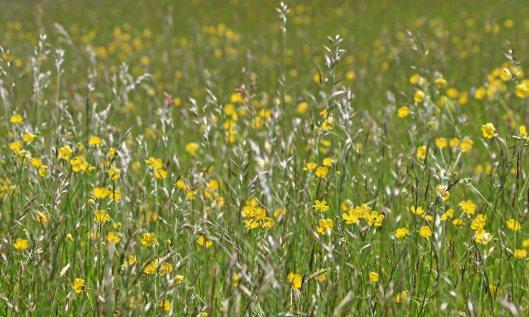 200619 meadow buttercup (1)