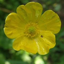 200619 meadow buttercup (2)