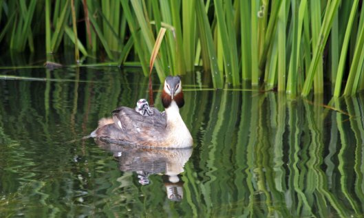 200624 great crested grebes (2)