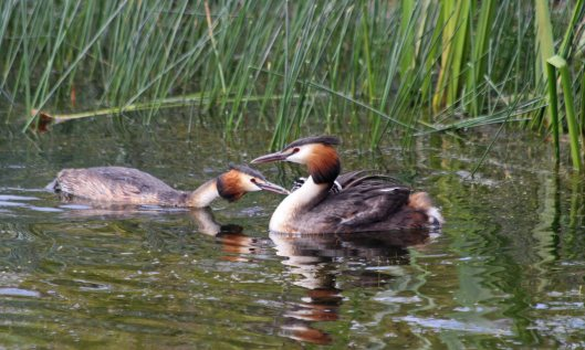 200624 great crested grebes (3)