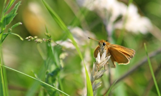 200626 essex skipper (2)