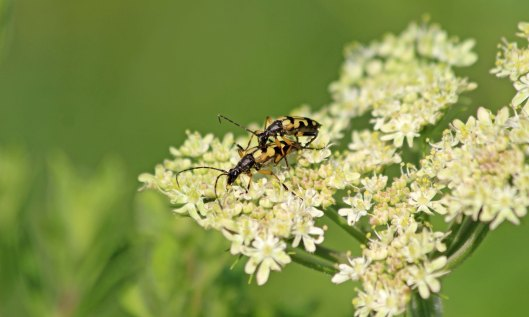200629 spotted longhorn (3)