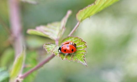 200703 7spot ladybird (1)