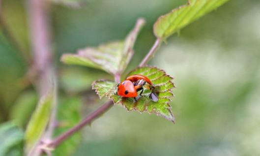 200703 7spot ladybird (2)