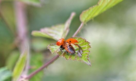 200703 7spot ladybird (3)