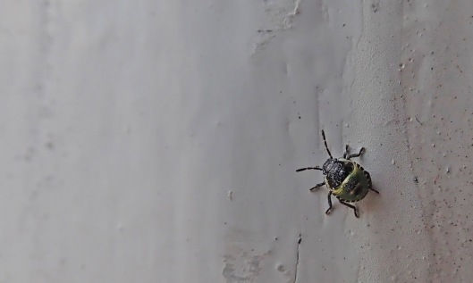 200704 1 common green shieldbug