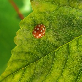 200704 3 ladybird orange (1)