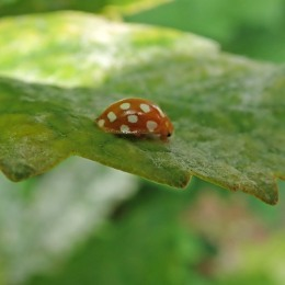 200704 4 ladybird orange (2)