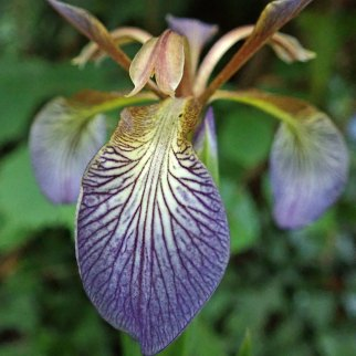 200705 stinking iris