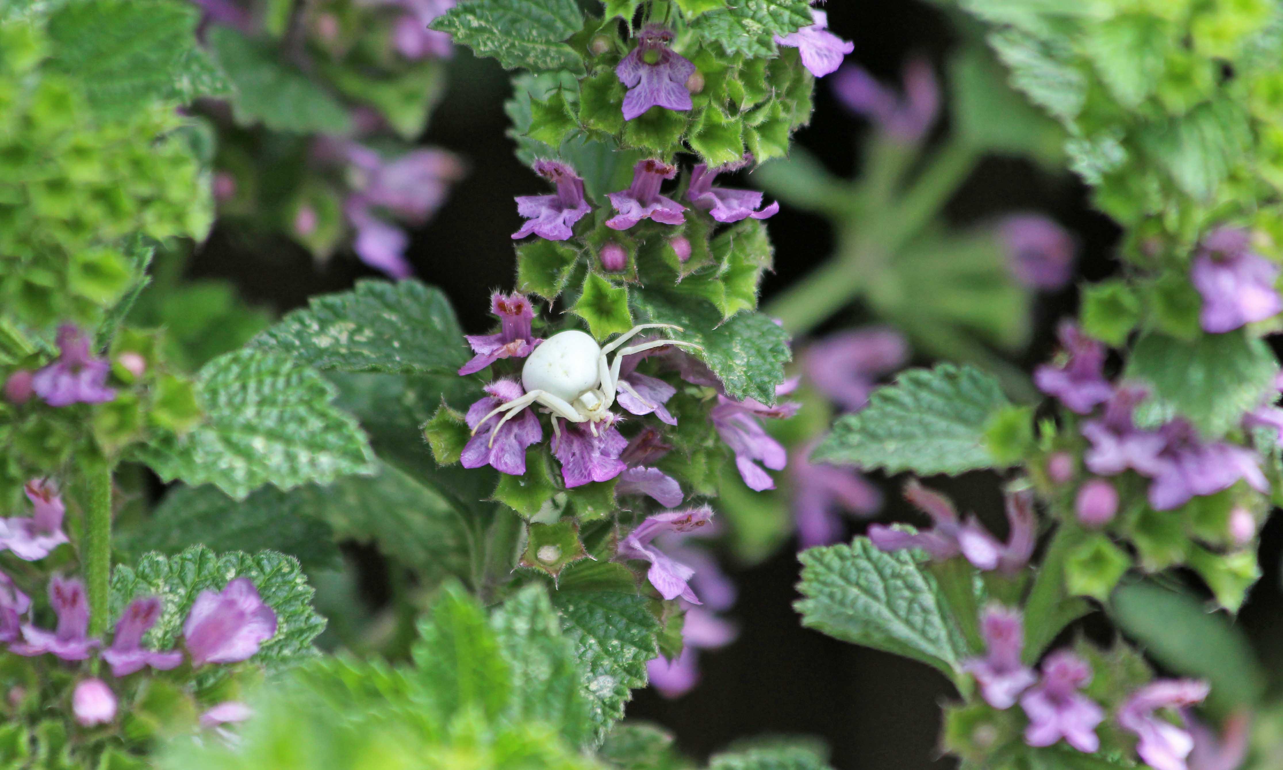 200706 1 crab spider