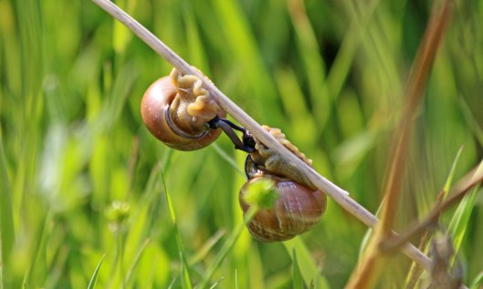 200709 mating snails (2)