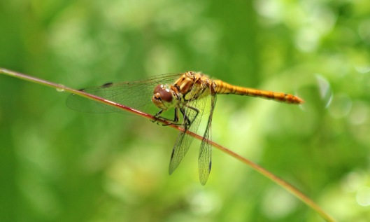 200710 common darter