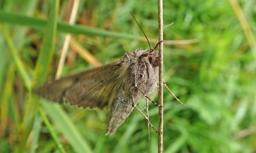 200711 Silver Y moth