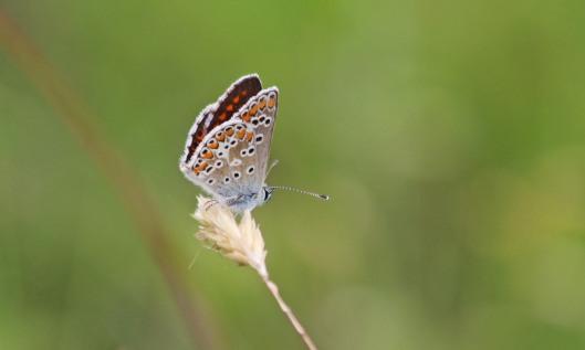 200714 brown argus (1)