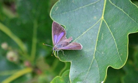 200718 purple hairstreak (2)