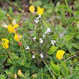 200719 common eyebright (1)