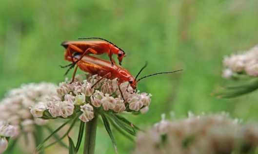 200720 common red soldier beetles