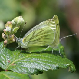 200720 green-veined white (1)