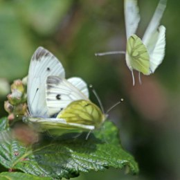 200720 green-veined white (2)