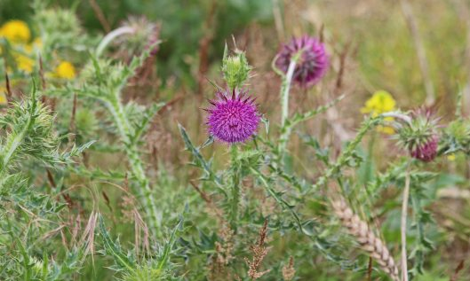 200722 musk thistle (1)