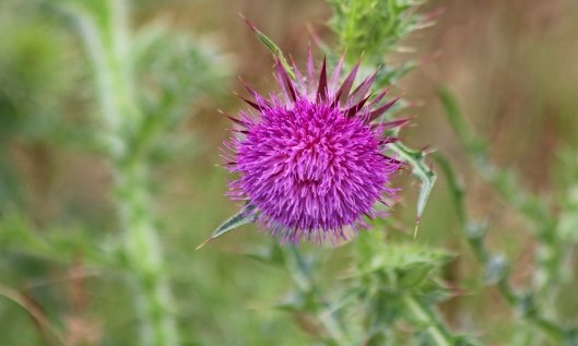 200722 musk thistle (2)