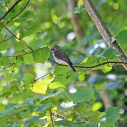 200723 4 spotted flycatcher