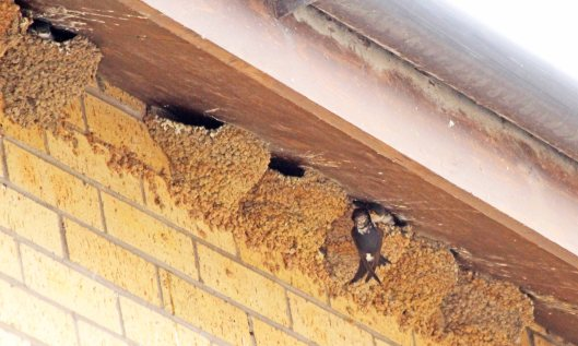 200728 4 house martins