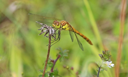 200729 common darter (1)