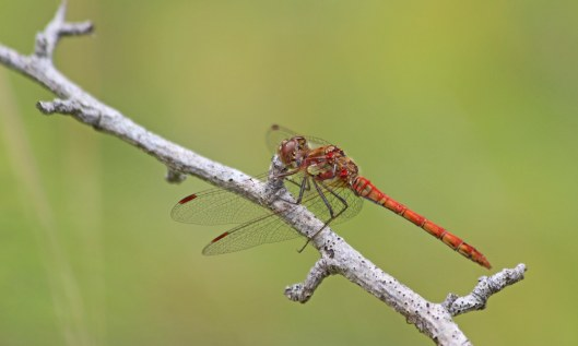 200729 common darter (2)