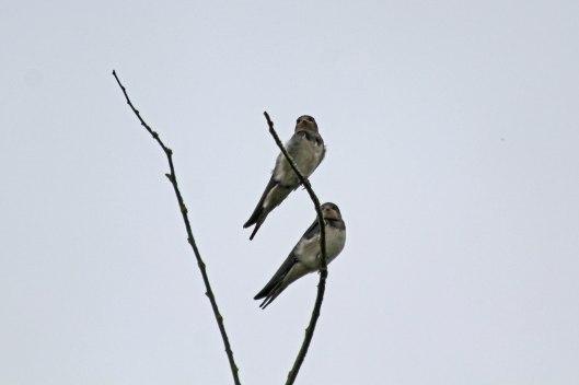 200808 swallows (1)