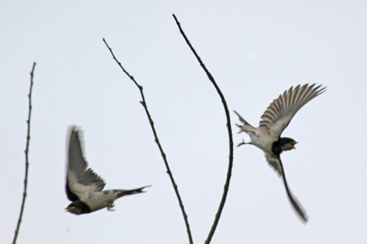 200808 swallows (2)