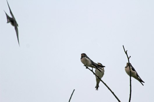 200808 swallows (3)