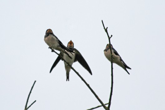 200808 swallows (4)