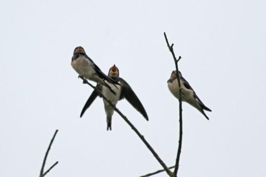 200808 swallows (4)